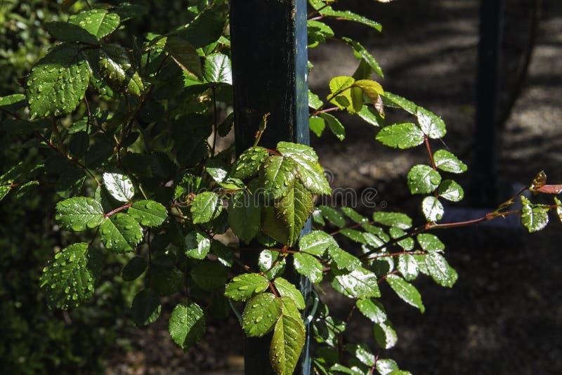Gouttes de pluie sur les feuilles de rose-Bush photos stock