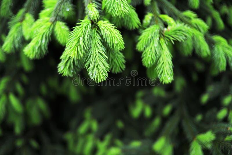 Gouttes de pluie sur les jeunes branches vertes image libre de droits