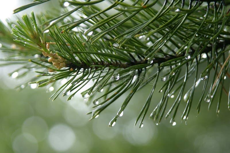 Gouttes de pluie sur les pointeaux de sapin images stock