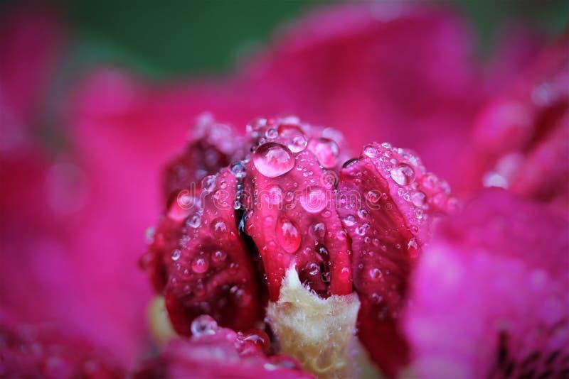 Gouttes de pluie sur un rhododendron rose photographie stock