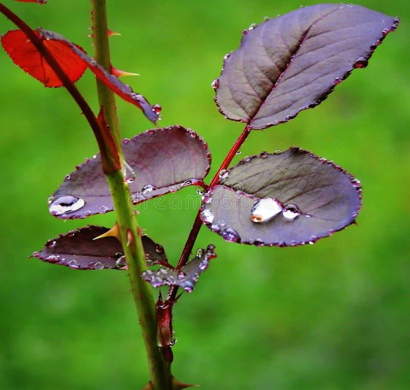 Gouttes de pluie sur un rosier photo stock