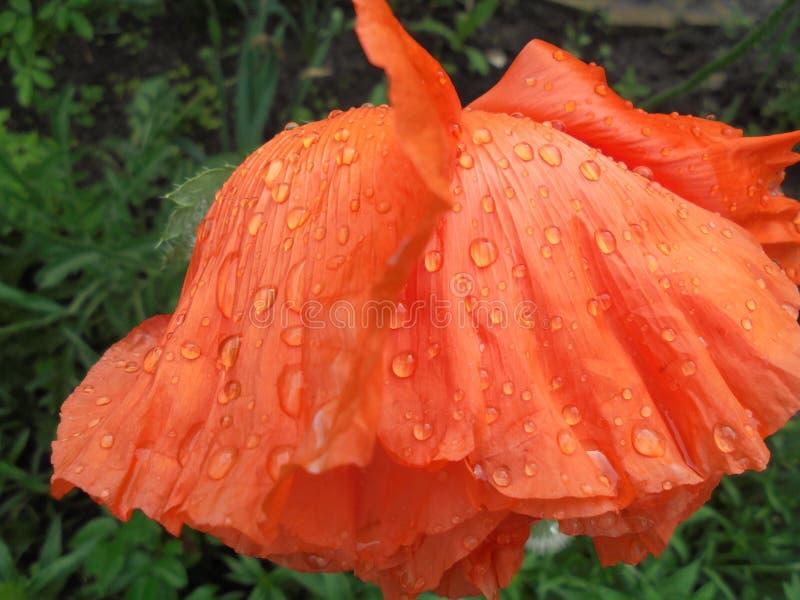 Gouttes de pluie transparentes sur une fleur orange de floraison de pavot photographie stock libre de droits