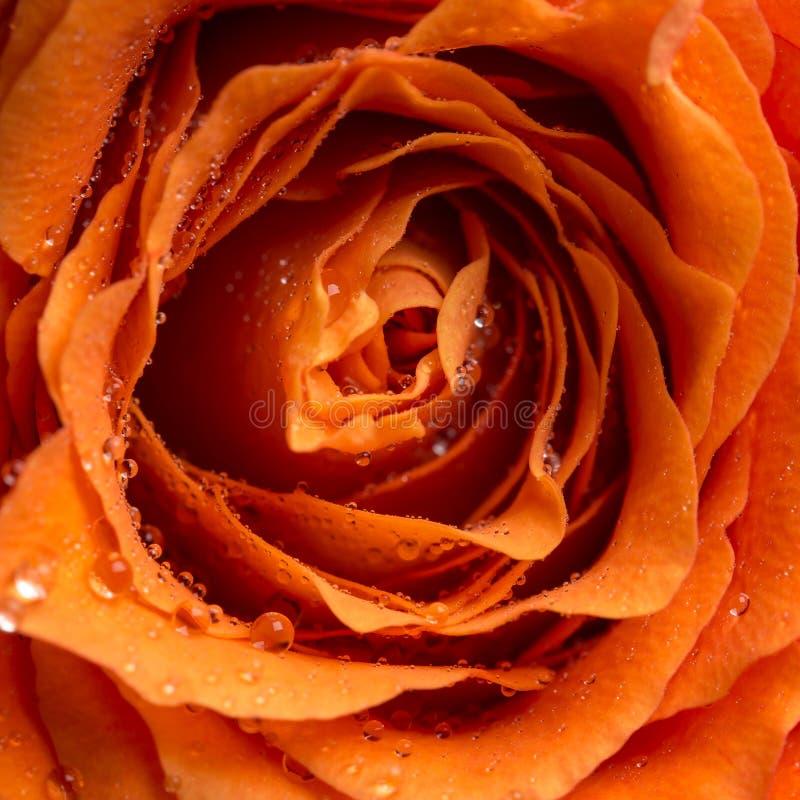 Gouttes de rosée ou gouttes de pluie sur une rose images libres de droits