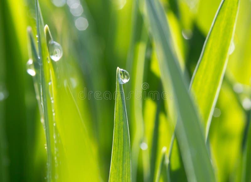 Gouttes de rosée sur l'herbe verte en soleil image libre de droits