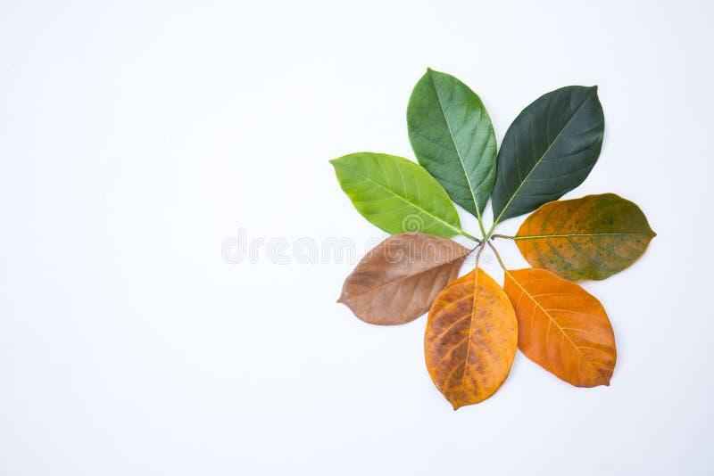 Gouttières de plan rapproché dans la couleur et l'âge différents des feuilles de jacquier photographie stock