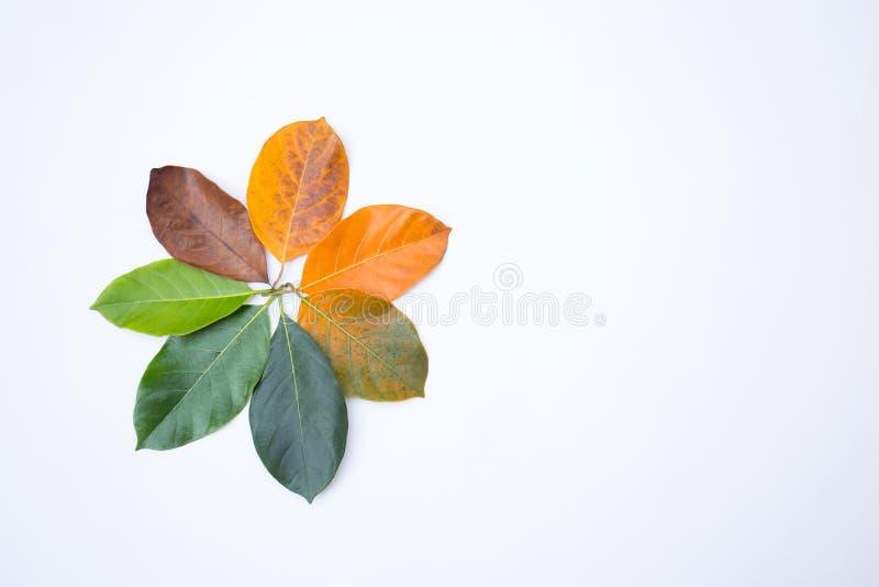 Gouttières de plan rapproché dans la couleur et l'âge différents des feuilles de jacquier photos stock