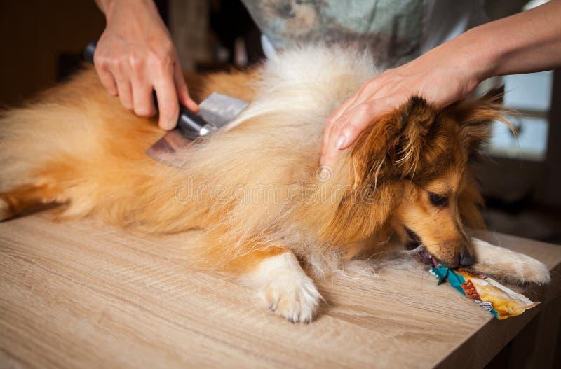 Governando con una spazzola del cane su un cane pastore di Shetland fotografia stock