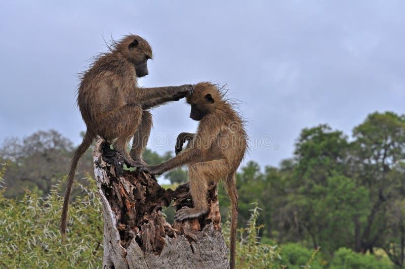 Governare dei babbuini immagine stock libera da diritti