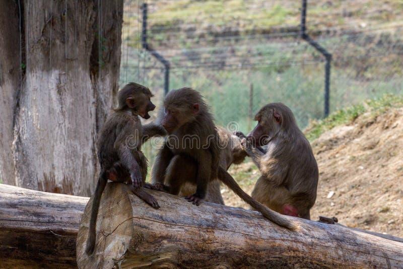 Governare dei babbuini di Hamadryas in questione immagini stock libere da diritti