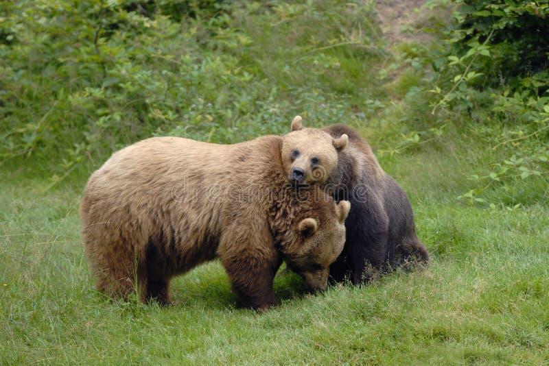 Governare delle coppie dell'orso bruno fotografia stock