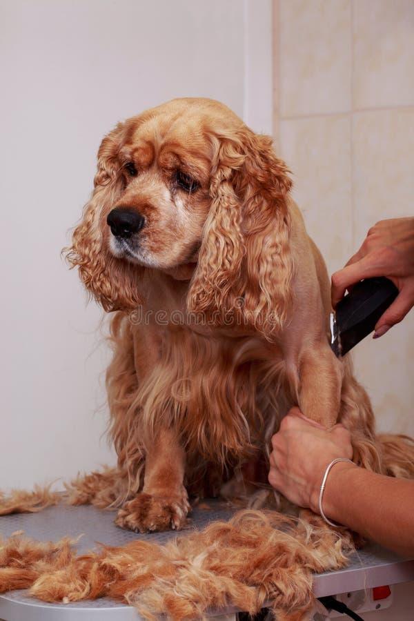 Governare i peli del cane fotografia stock libera da diritti
