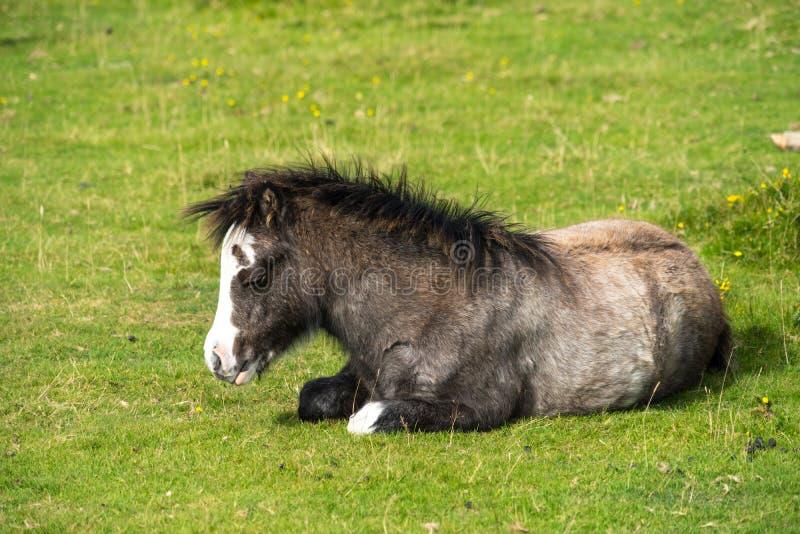 Gower Pony Foal selvagem imagem de stock royalty free