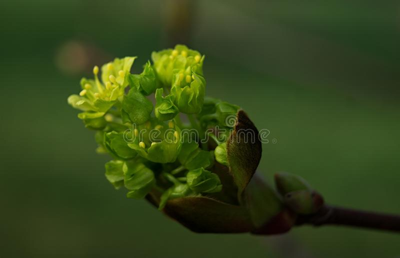 Gowing bud. Grownig bud on bough in tree stock photo