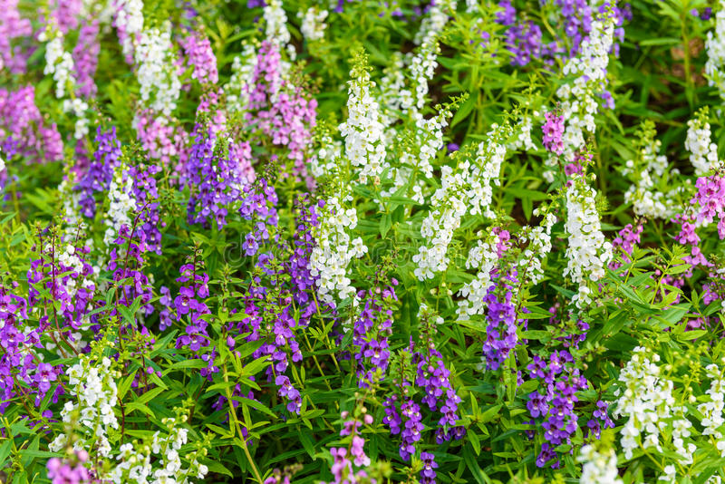 Goyazensis Benth de Waew Wichian Flower Angelonia photographie stock libre de droits