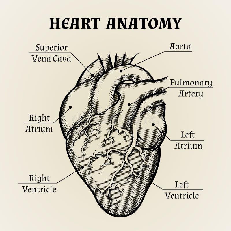 Gráfico Blanco Y Negro De La Anatomía Del Corazón Ilustración del ...