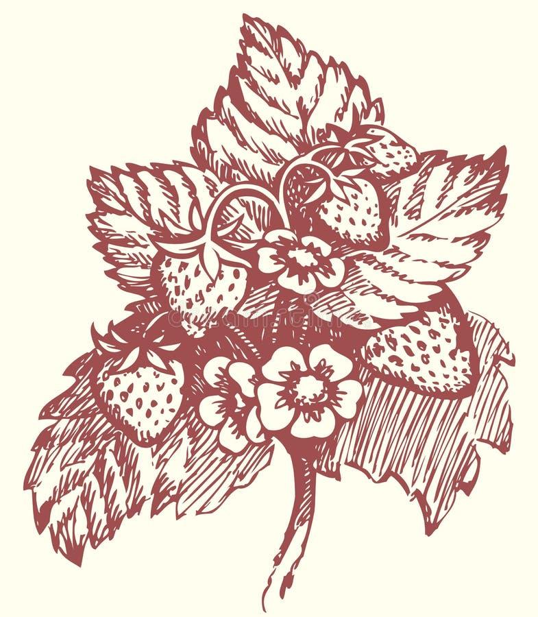 Download Gráfico Del Vector Arbusto De Fresa Con Las Flores Y Las Bayas Ilustración del Vector - Ilustración de botánica, cosecha: 41908547