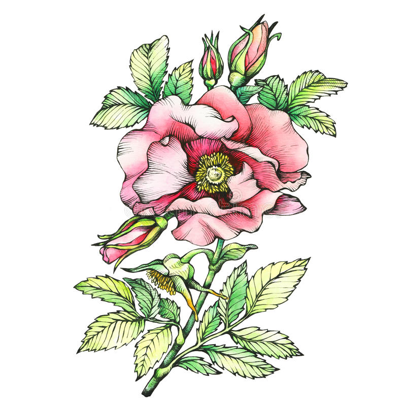 Gráfico los nombres color de rosa del perro floreciente de la rama: El japonés subió, rugosa de Rosa libre illustration