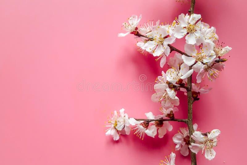 Gráficos de damascos de madeira com flores brancas e estames amarelos sobre fundo de tom bege fotografia de stock