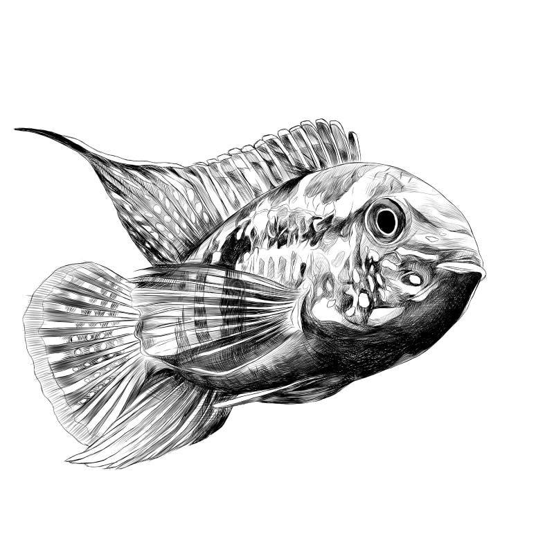 Gráficos de vector del bosquejo de los pescados de Acara stock de ilustración