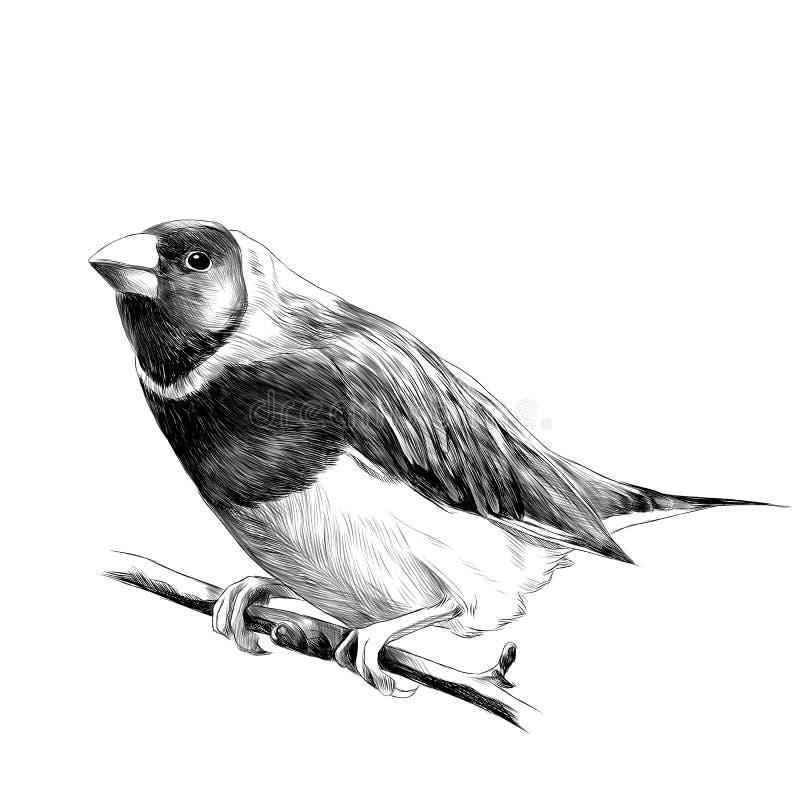 Gráficos de vector del bosquejo del amadina del pájaro ilustración del vector
