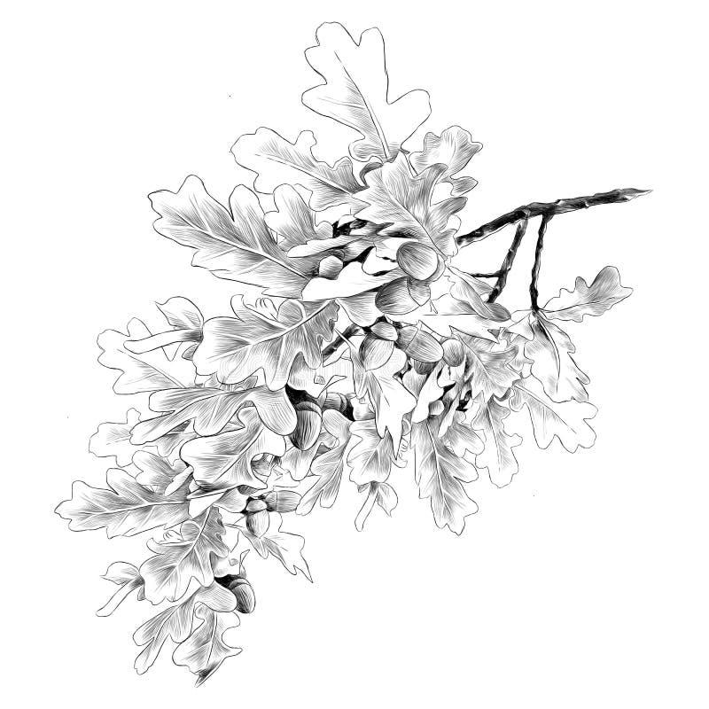 Gráficos de vetor do esboço do ramo do carvalho ilustração do vetor