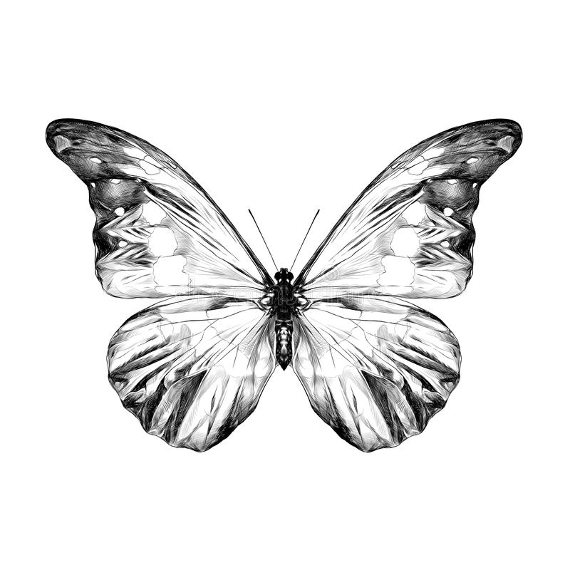 Gráficos del bosquejo de la mariposa ilustración del vector