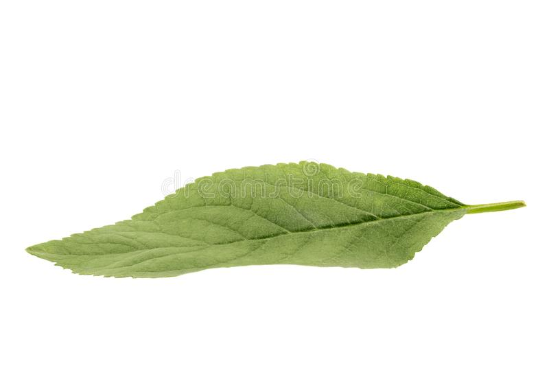 Grünes Apfelblatt lokalisiert auf weißem Hintergrund lizenzfreie stockfotografie