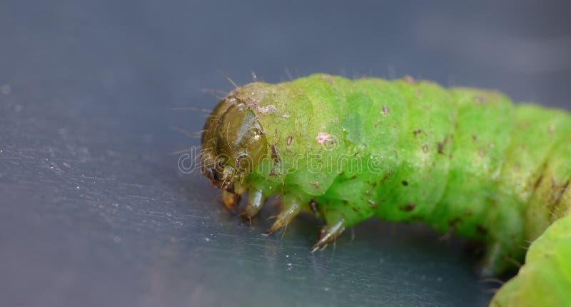 Grünes Caterpillar - Makrophotographie - Großbritannien stockfotos