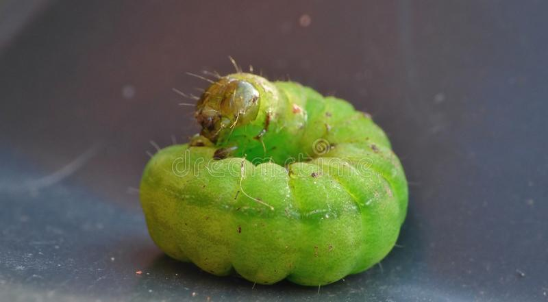 Grünes Caterpillar - Makrophotographie - Großbritannien stockbild