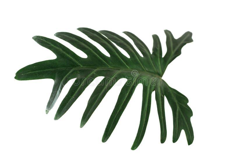 Grünes tropisches Blatt auf weißem Hintergrund, Philodendron xanadu kroatisch stockbild