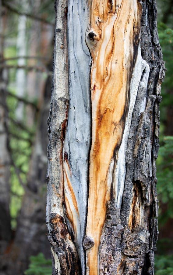 Grão alaranjada da madeira do teste padrão em um pinheiro em Rocky Mountain National Park fotografia de stock