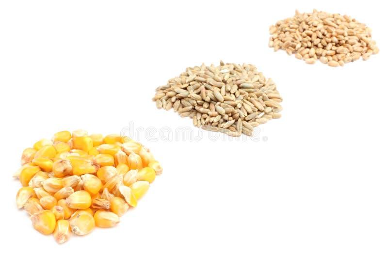 Grão do milho, do centeio e do trigo no fundo branco foto de stock royalty free