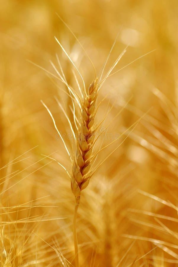 Grão do trigo imagens de stock