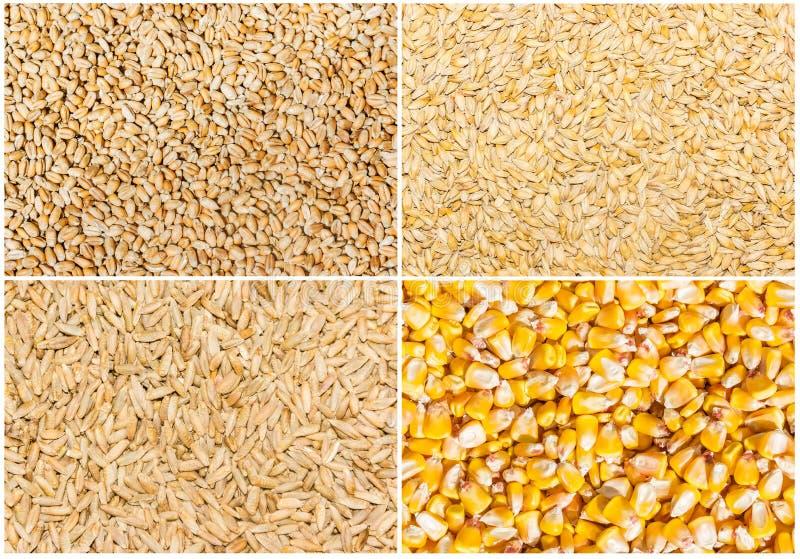 Grão do trigo, da cevada, do centeio e do milho fotos de stock