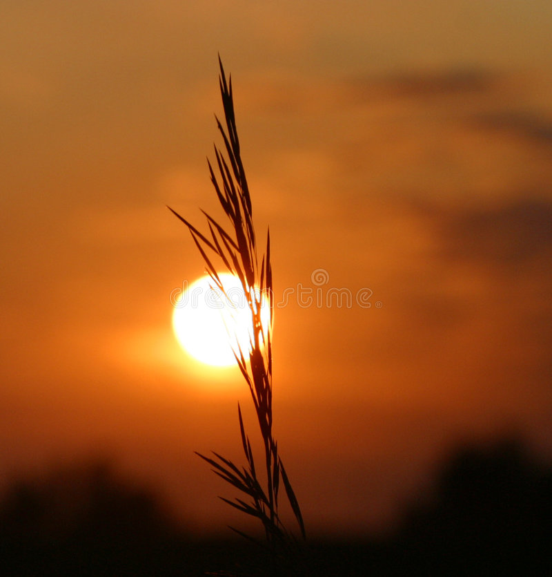Grão no por do sol fotos de stock