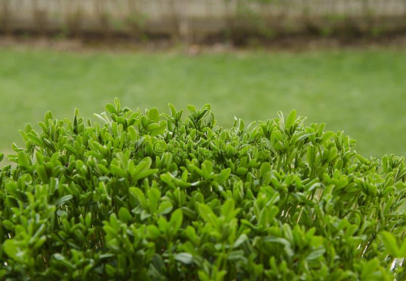 Grãos-de-bico brotados no solo orgânico sobre o fundo natural fotos de stock royalty free