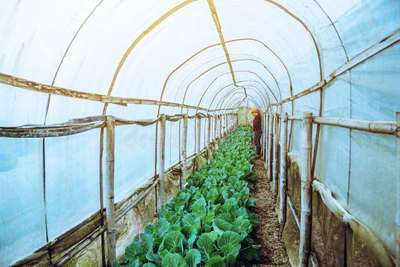 Grädgårdskvinna asian Caring for Vegetable Cabbage I trädgården på daghemmet fotografering för bildbyråer