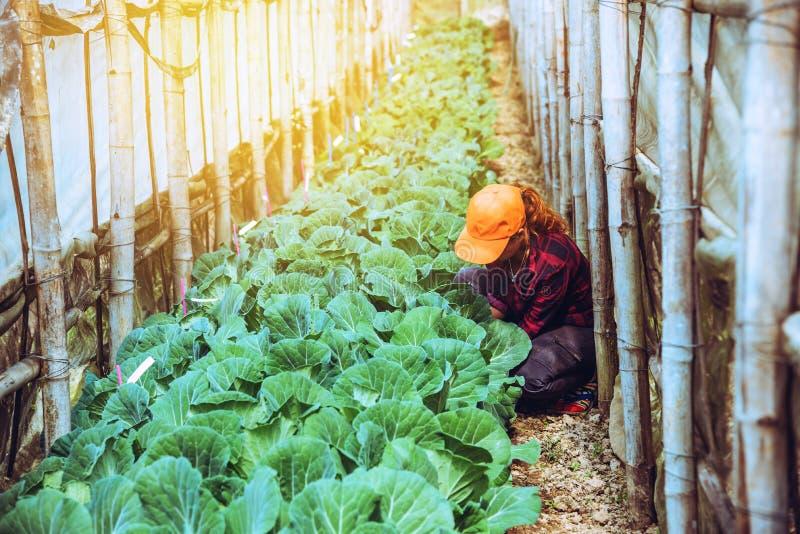 Grädgårdskvinna asian Caring for Vegetable Cabbage I trädgården på daghemmet royaltyfri fotografi