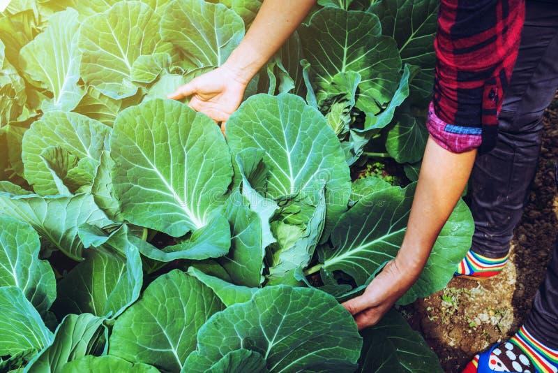 Grädgårdskvinna asian Caring for Vegetable Cabbage I trädgården på daghemmet royaltyfri bild