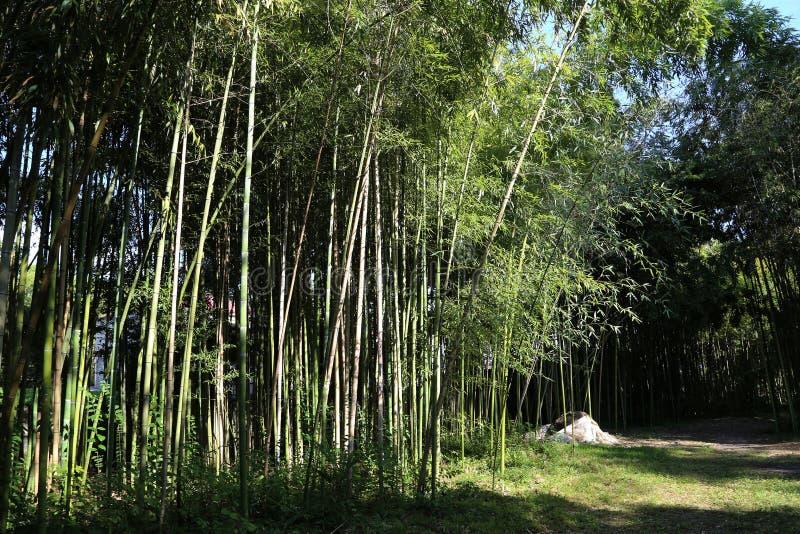 Gränd av bambu i den centrala botaniska trädgården arkivbilder