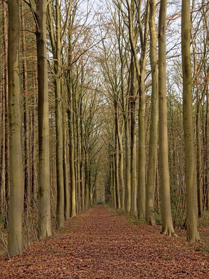 Gränd av bokträdträd i den flemish bygden fotografering för bildbyråer