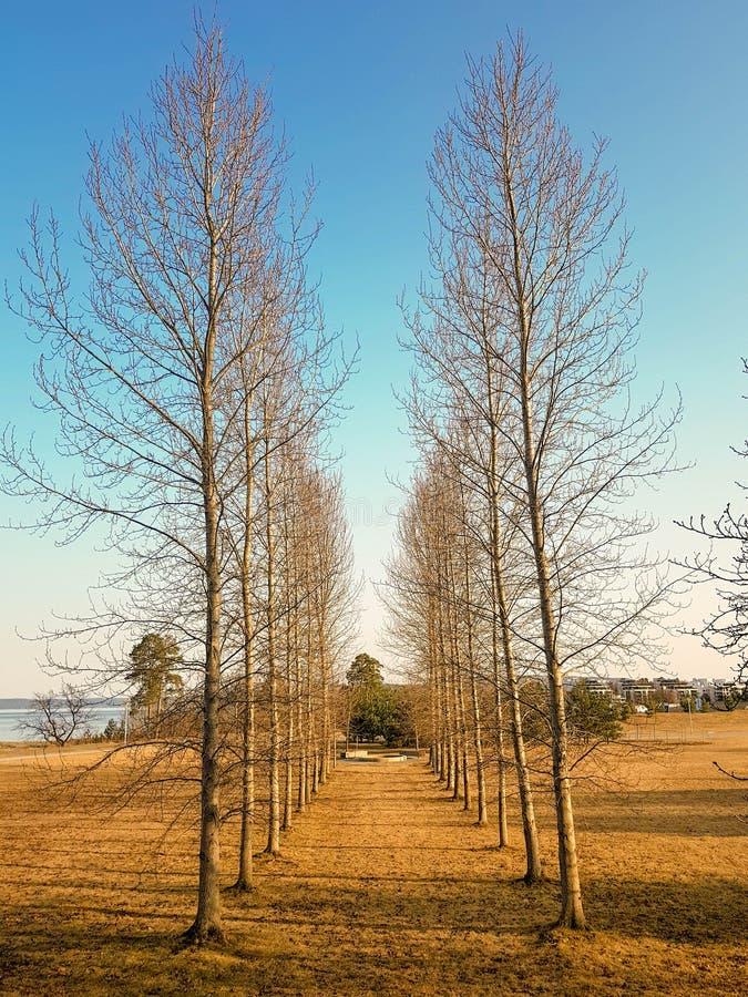 Gränd av träd utan sidor royaltyfri bild