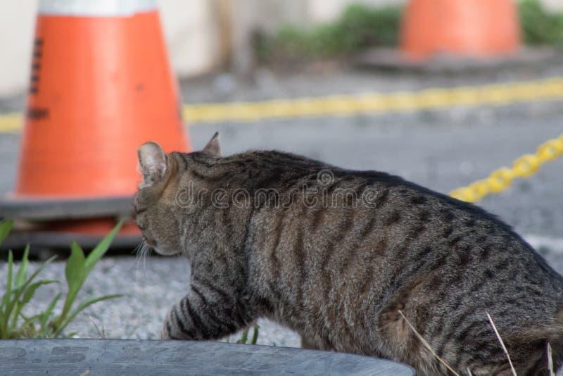 Gränd Cat Walking fotografering för bildbyråer