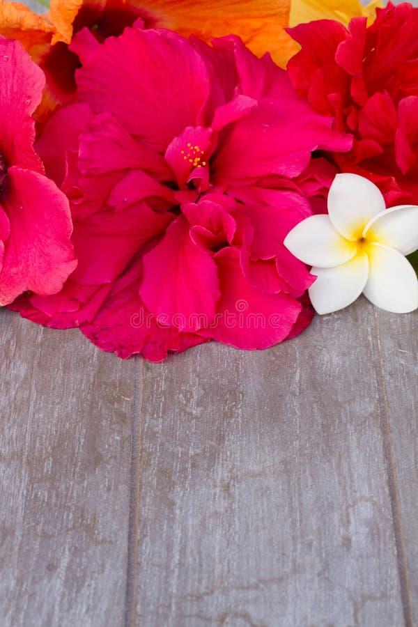 Gräns av färgrika hibiskusblommor royaltyfri fotografi