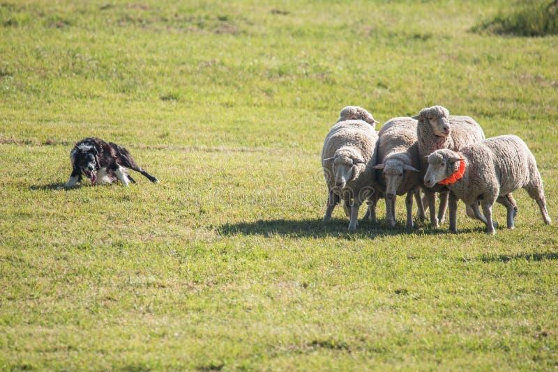 Gräns Collie Herding Sheep Reluctant Sheep arkivbilder