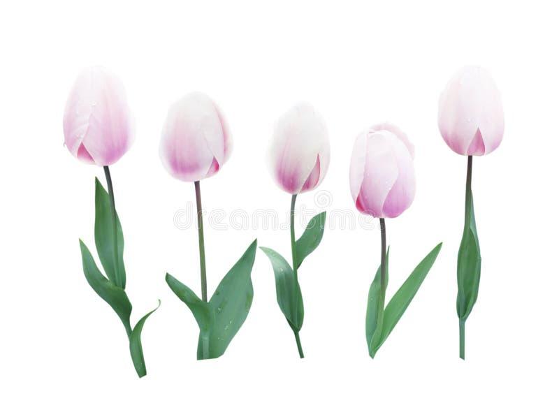 Gräns - rosa blommauppsättning för tulpan fem royaltyfria bilder