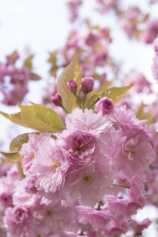 Gräns - rosa dekorativa blommor för körsbärsrött träd fotografering för bildbyråer