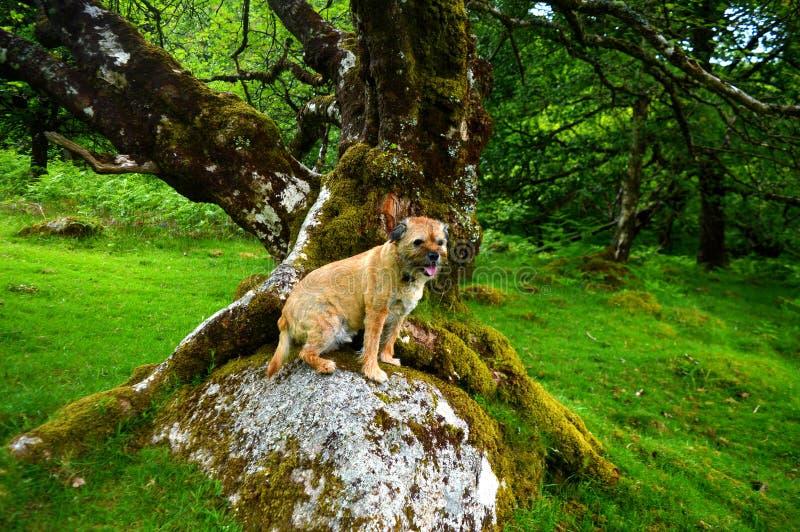 Gräns Terrier royaltyfria foton