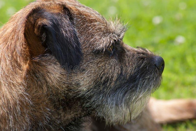 Gräns Terrier som ser höger profil arkivbild
