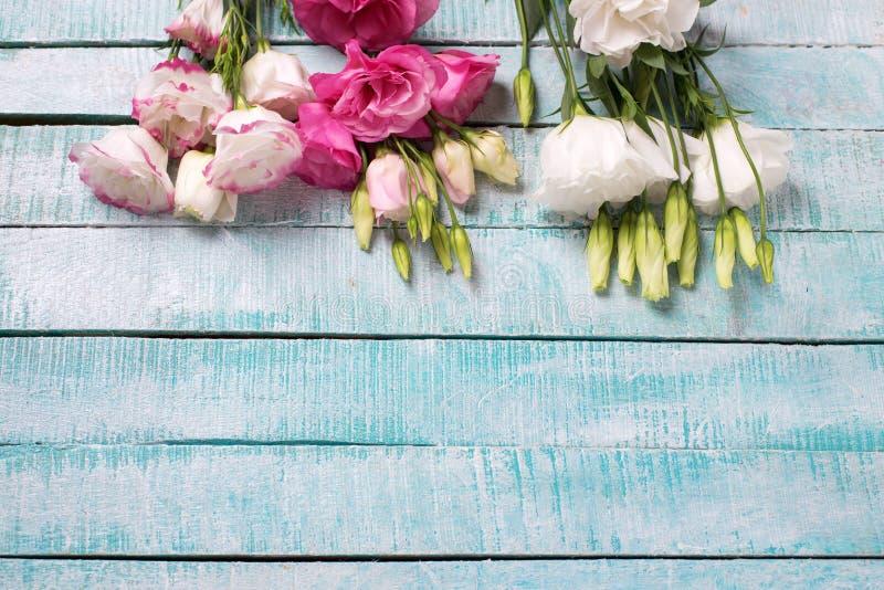 Gränsa för rosa färg- och viteustomaen för brom nya blommor på blått trä royaltyfri fotografi